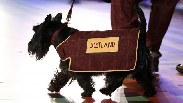 Scottie dog Hamish wearing Scotland coat