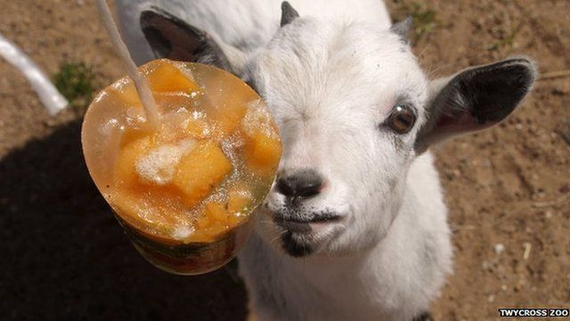 A goat eating an ice lolly