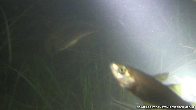 Video grab of fish in seagrass
