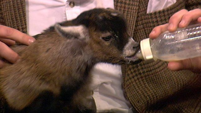 Pygmy goat Benjamin