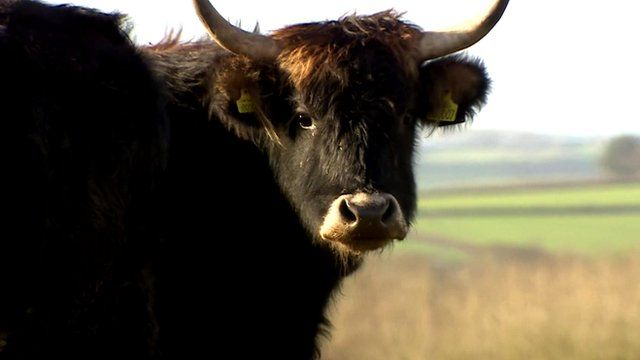 A Heck cow