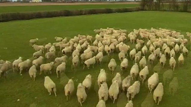 Sheep being shepherded by drone