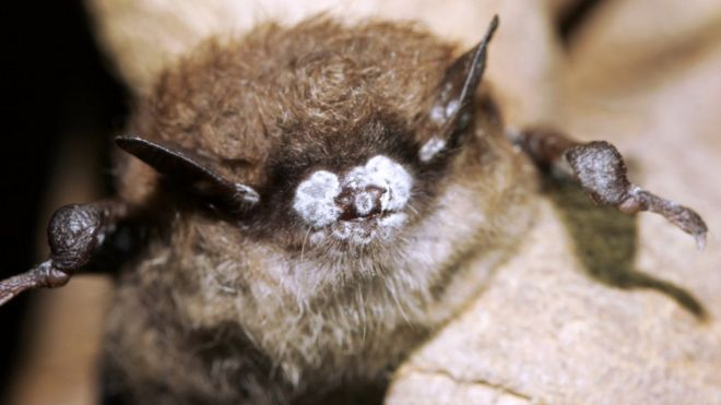 http://ichef-1.bbci.co.uk/news/660/cpsprodpb/06E4/production/_88646710_c0135104-white_nose_syndrome_in_bats-spl.jpg