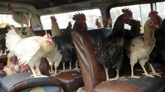 Chickens inside a vehicle in Lagos, Nigeria - 2013