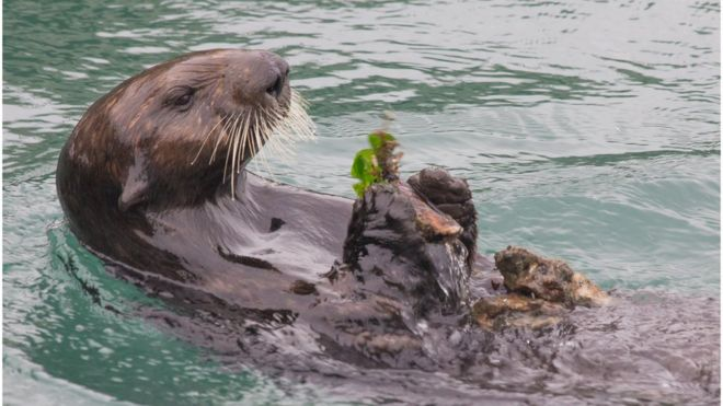 Sea otters use rocks to crack open shellfish