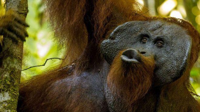 'Beijos' de orangotangos revelam segredos sobre origem da fala humana, dizem cientistas