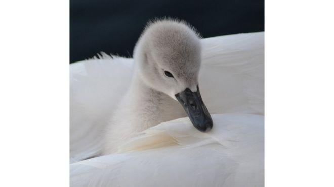Cría de cisne