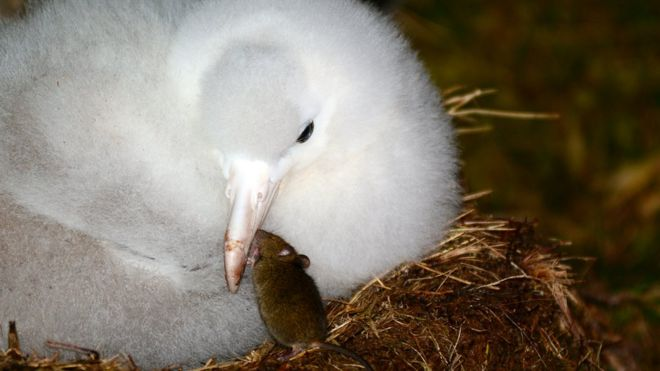Tristan albatross chick with mouse