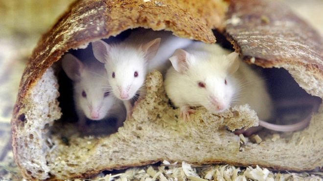 Australian Conditions 'Favourable' For Mouse Plague, Scientists Warn