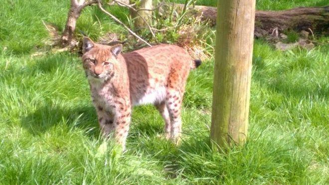 Lynx Wild Cat Escapes Dartmoor Zoo