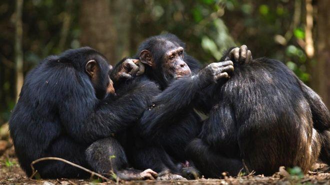 Шимпанзе чистят друг другу шерсть