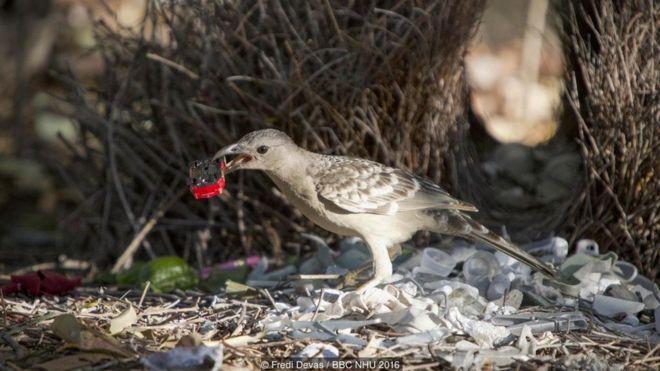 Một chú chim sẻ đá trống tại Townsville, Úc. Để quyến rũ chim mái, chàng ta trang trí tổ bằng những món đồ sặc sỡ kiếm được, khác hẳn với màu lông nhạt nhòa của mình