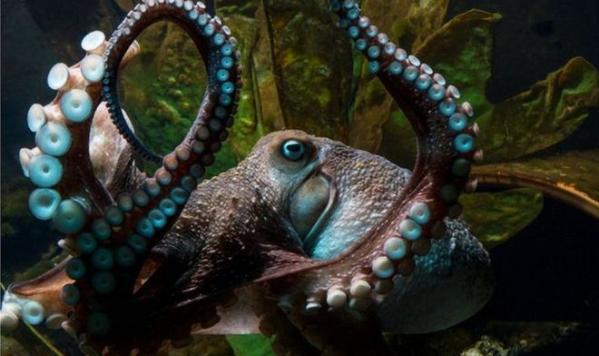 A photo of Inky the octopus prior to his escape
