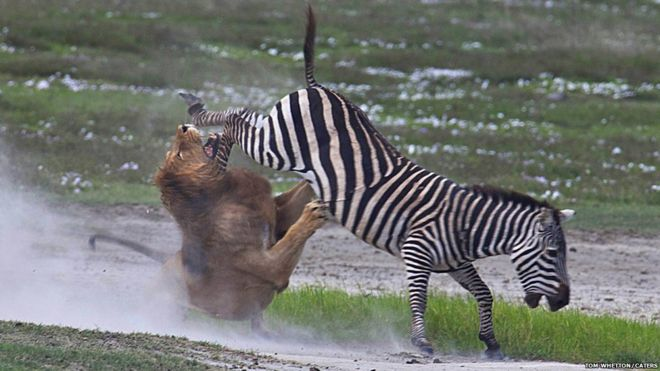 http://ichef-1.bbci.co.uk/news/660/media/images/54423000/jpg/_54423366_caters_lion_zebra_07.jpg