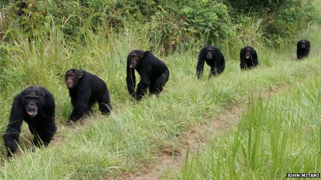 Groups of male chimpan...