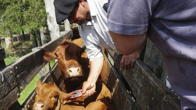 Uruguay's world first in cattle farming