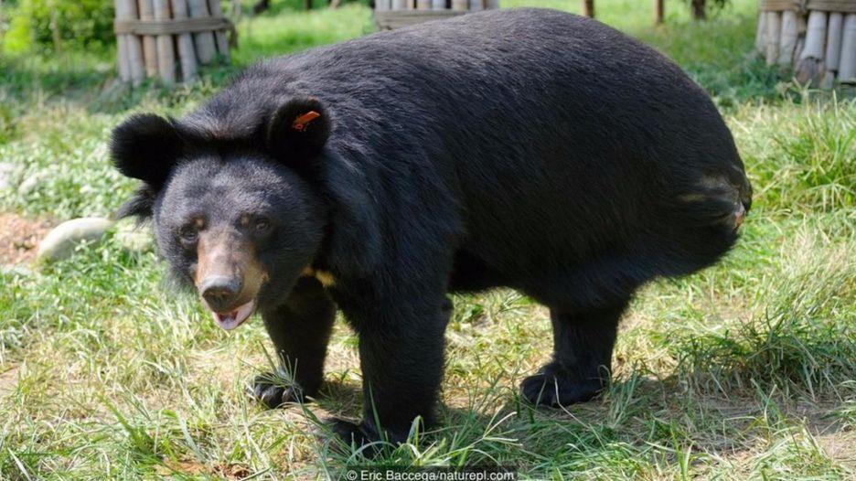 Chú gấu đen Á châu này (Ursus thibetanus) có lẽ đã bị mất chân trong một lần sâp bẫy
