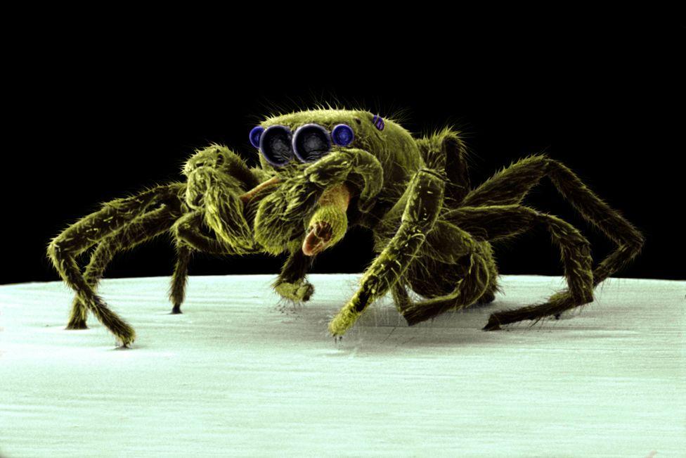 Araña saltadora © Trustees of NHM, London