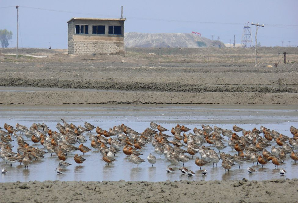 Bar-tailed godwits and smaller dunlin roosting in a pool in North Korea