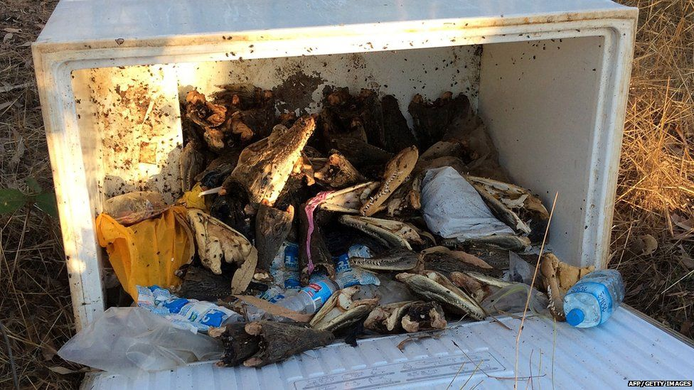 This undated picture released by the Northern Territory police shows saltwater crocodile heads inside a freezer box behind a row of shops at Humpty Doo town in Australia's Northern Territory