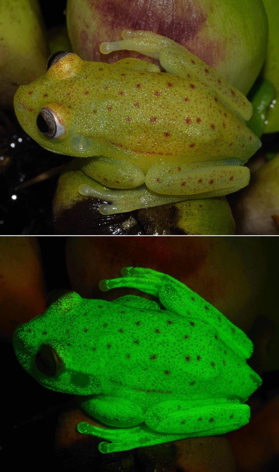 Así es la primera rana fluorescente que han descubierto en el mundo y que vive en Argentina