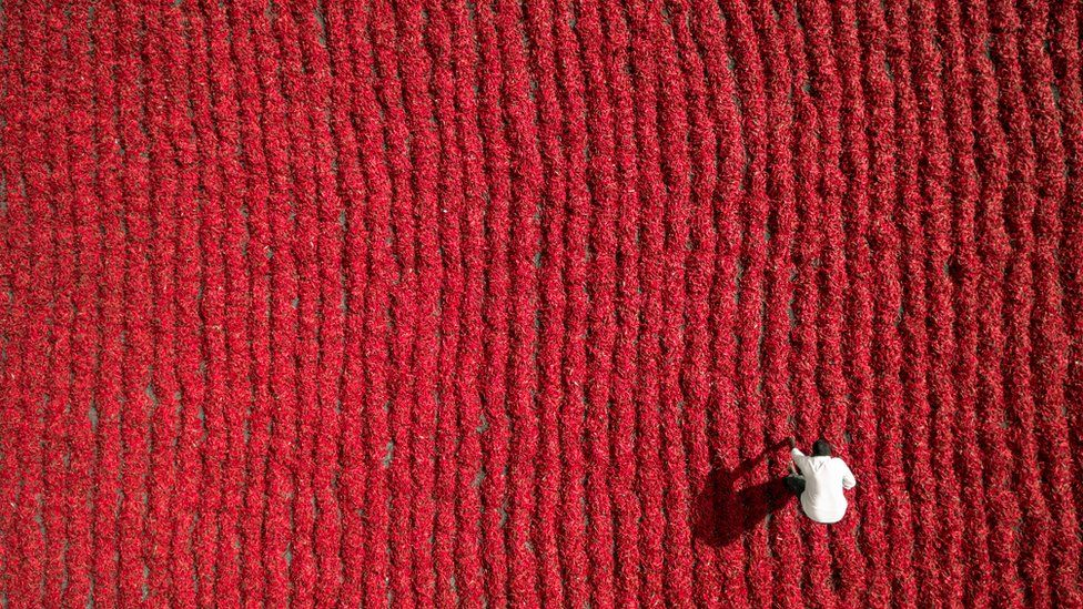 A famer bends over in a field of chillies
