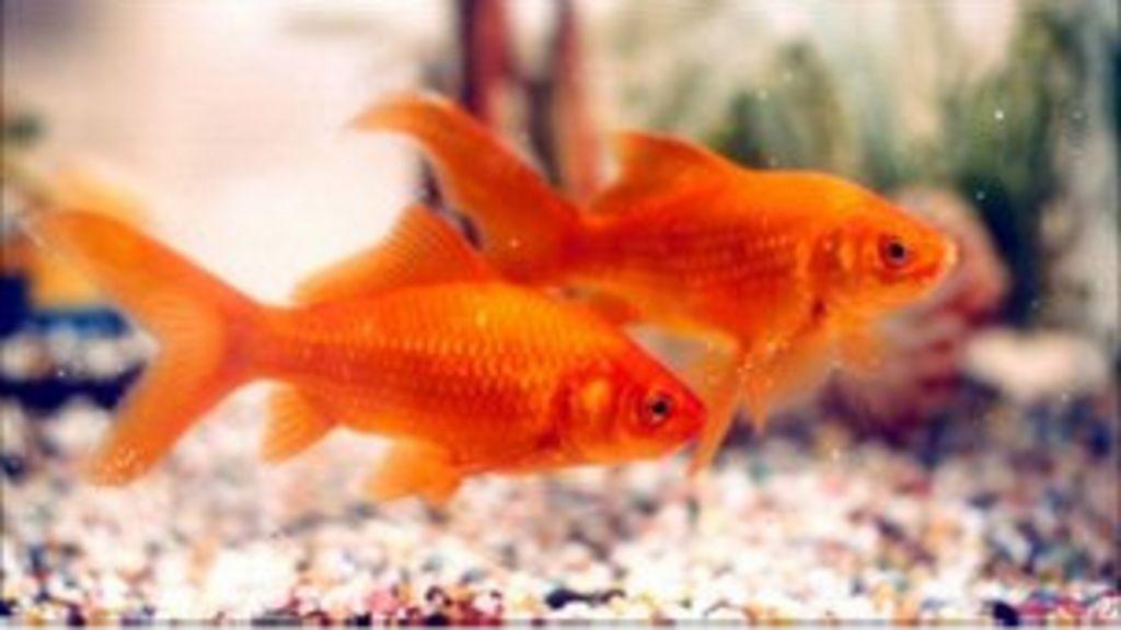 Britânico é processado após engolir peixinho-dourado em ...