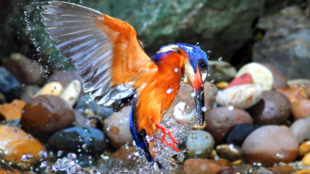 Martins-pescadores dão espetáculo na natureza - BBC Brasil