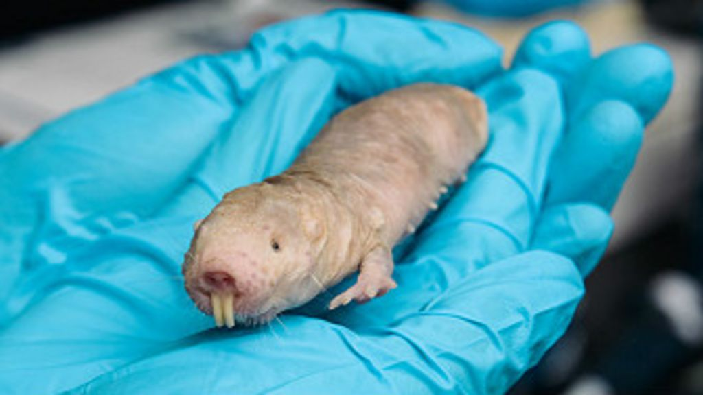 O animal que é imune ao câncer - BBC Brasil