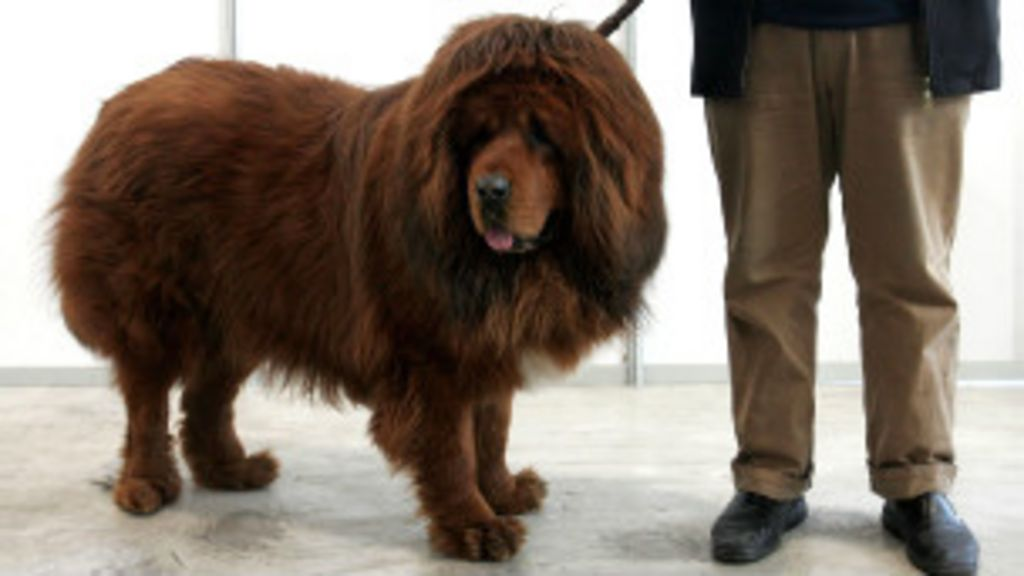 Zoológico chinês faz cachorro se passar por leão - BBC Brasil