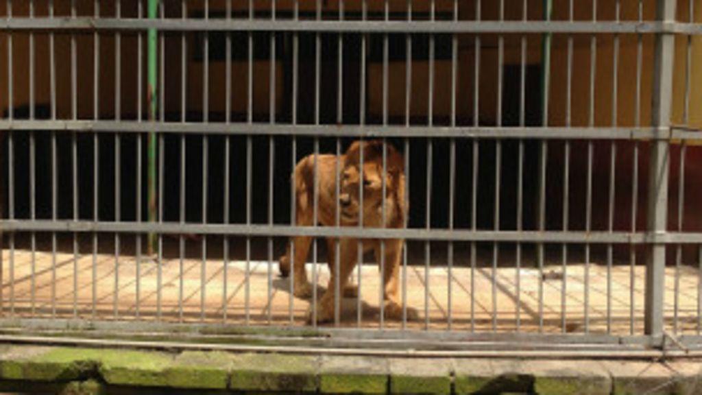 Leão mata tratador em zoológico da Etiópia - BBC Brasil