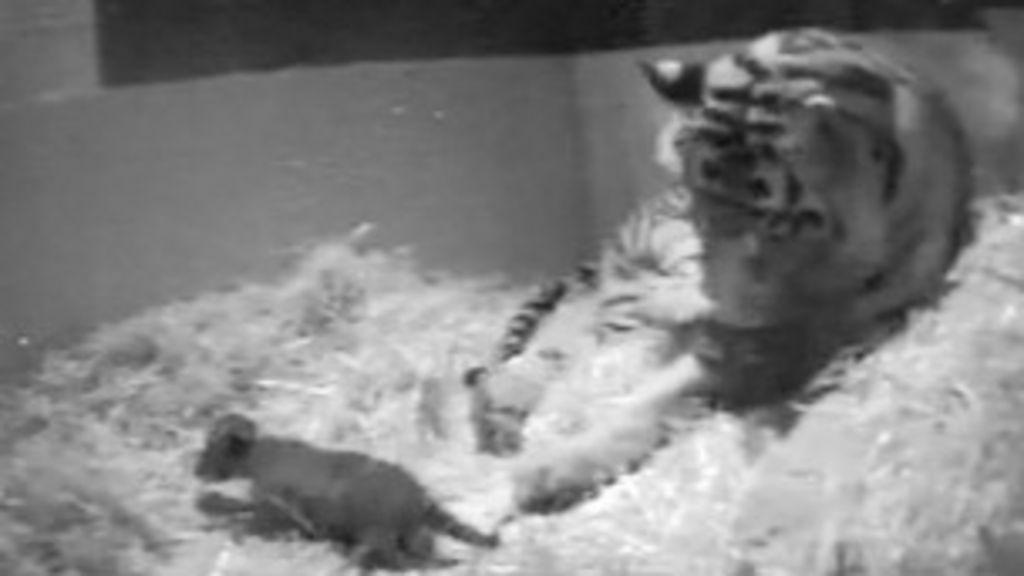 Filhote raro de tigre ameaçado morre afogado em zoo - BBC Brasil