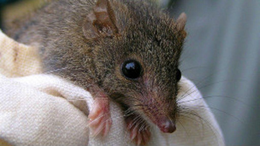 Sexo em excesso mata machos de espécies de marsupiais - BBC ...