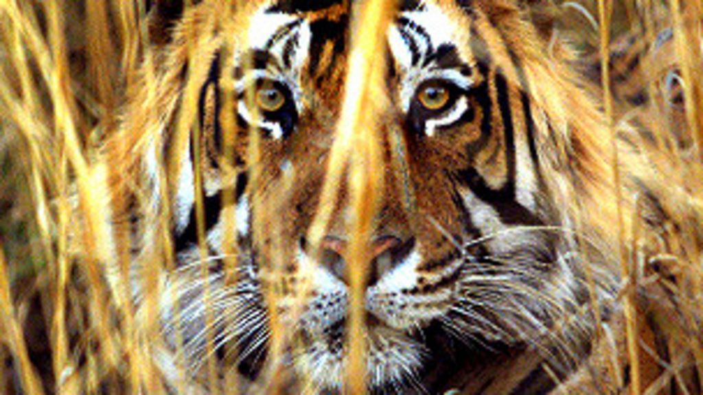 Índia faz caçada a tigre que matou sete pessoas - BBC Brasil