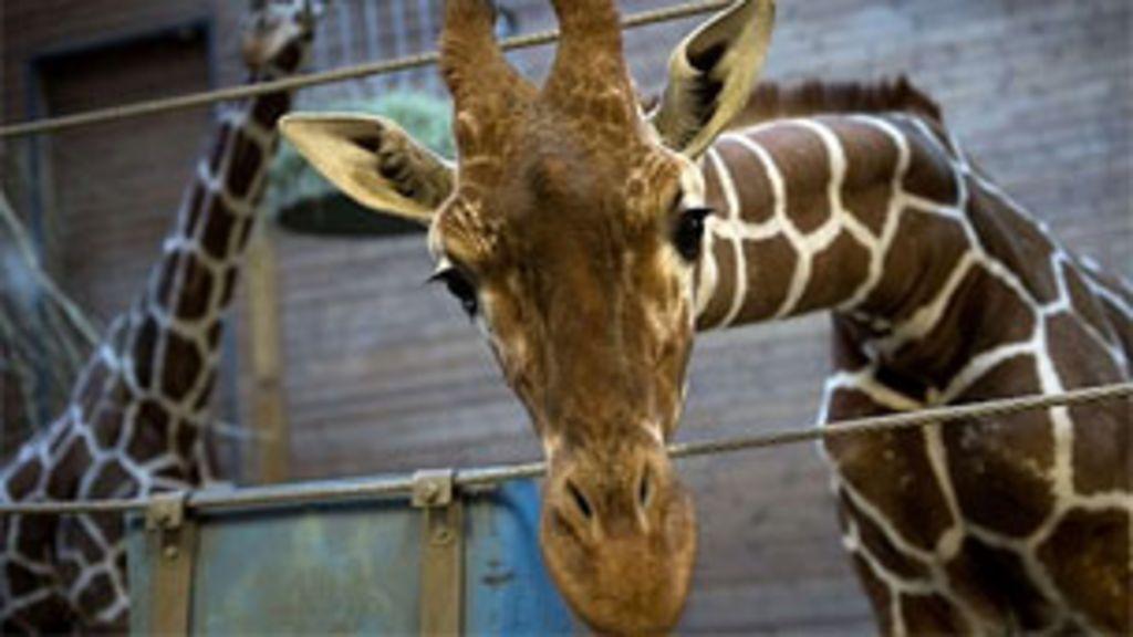 Execução de girafa em zoológico gera polêmica na Dinamarca ...