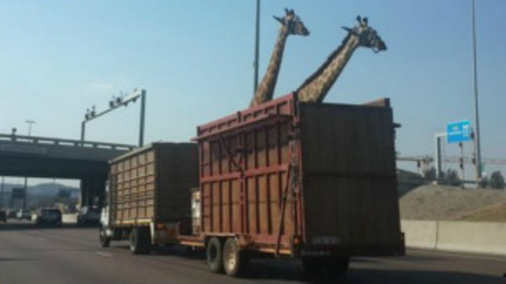 Girafa morre na África do Sul após se chocar contra uma ponte ...