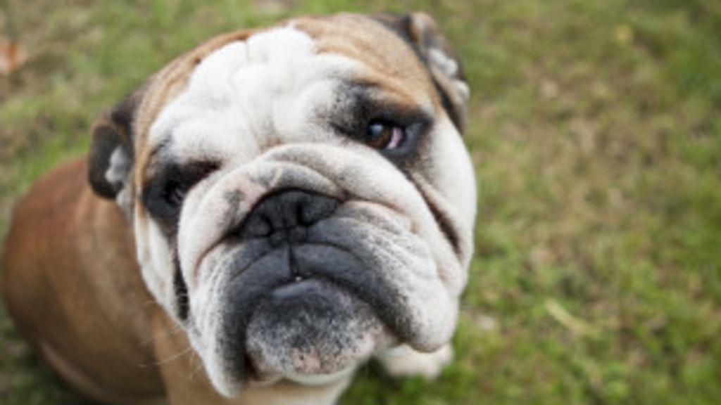 Por que os cachorros gostam de cheirar traseiros de outros cães ...