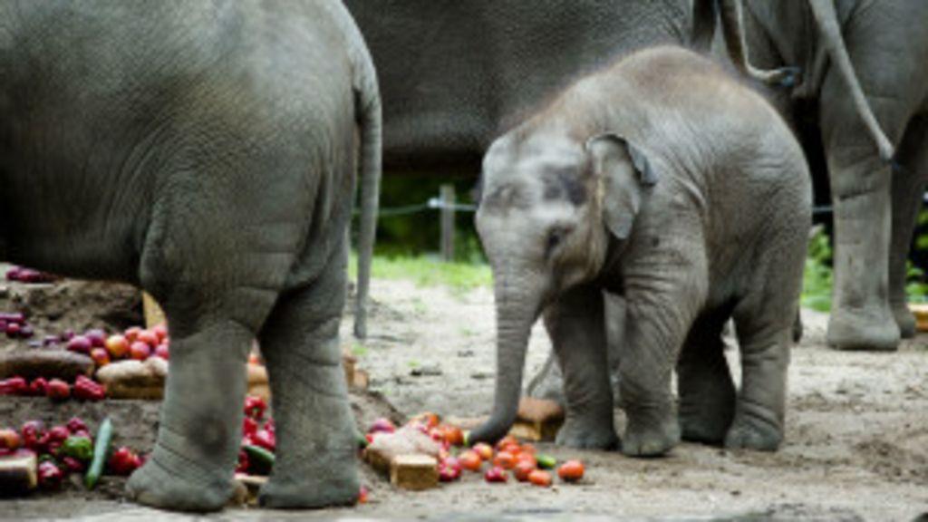 Elefantes podem ser extintos em cem anos na África - BBC Brasil