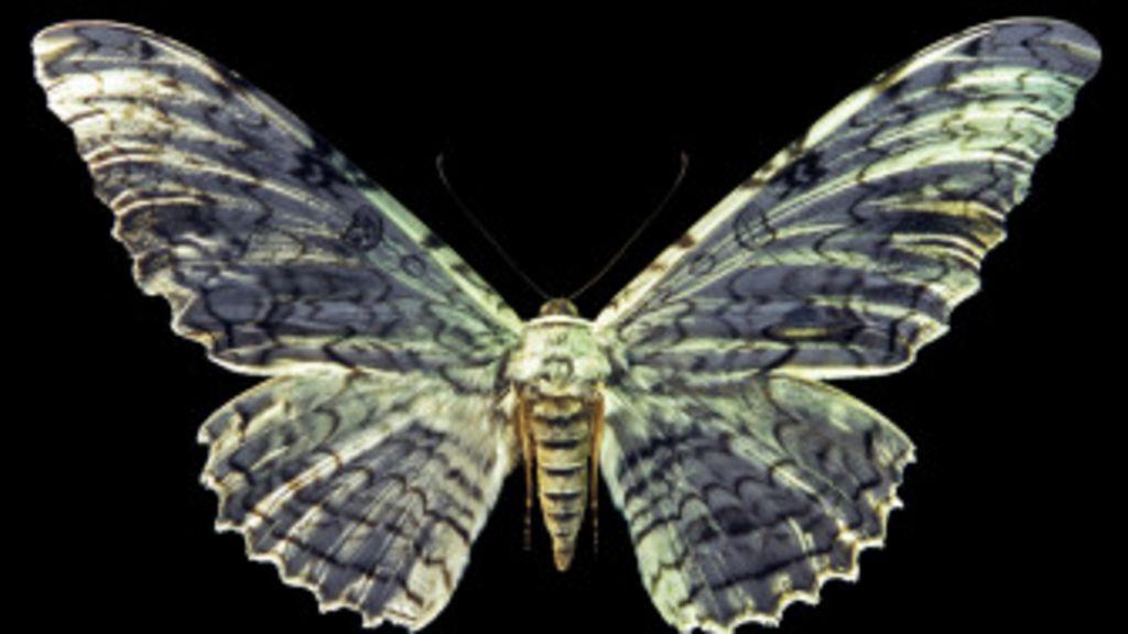 Cu l es la mariposa m s grande del mundo bbc mundo for Cual es la cama mas grande