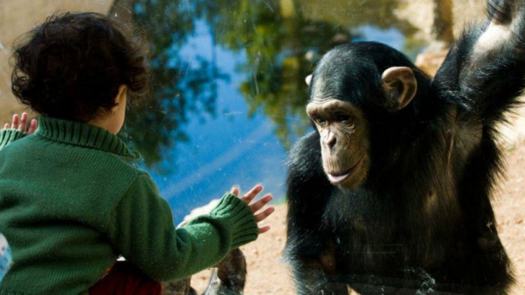 Quem é mais inteligente: uma criança ou um chimpanzé? - BBC Brasil