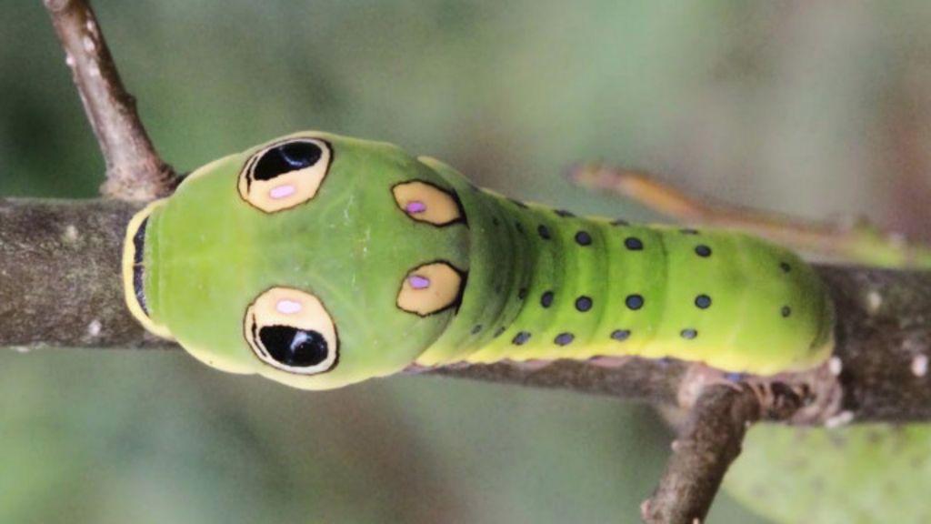 Cinco animais que usam ' olhos falsos' para enganar ou seduzir ...