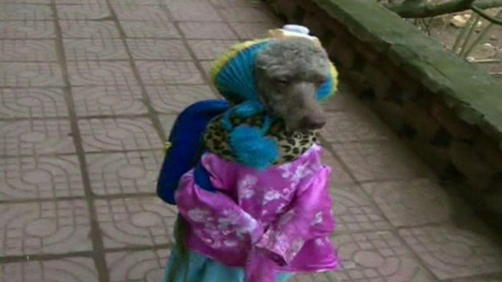 Poodle que anda sobre duas patas chama a atenção na China ...