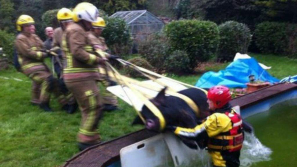 Porco cai em piscina e é resgatado por bombeiros na Inglaterra ...