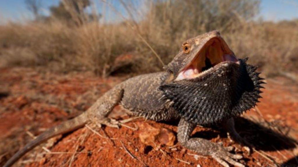 Dez incríveis dragões de verdade - BBC Brasil