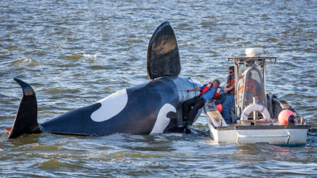 Orca falsa é usada para espantar leões-marinhos 'indesejados' nos ...