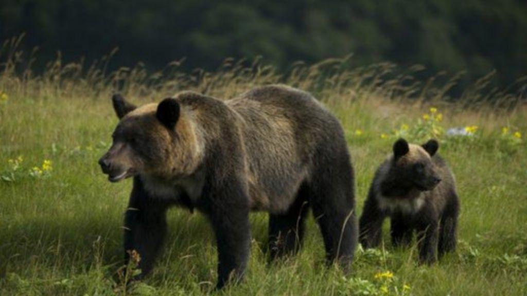 Ursos-pardos aprendem a 'fazer amizade' com pescadores no Japão