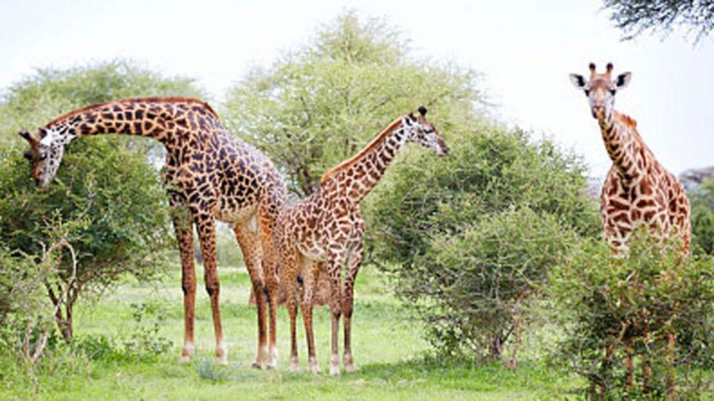 Aprenda inglés con el paso de una jirafa - BBC Mundo