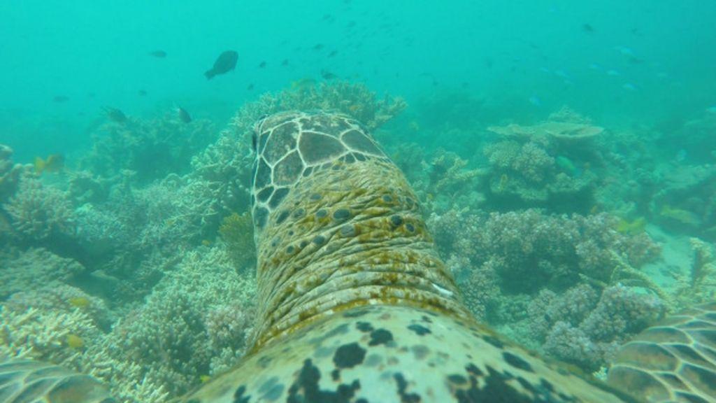 Câmera revela passeio de tartaruga marinha pela Grande Barreira ...