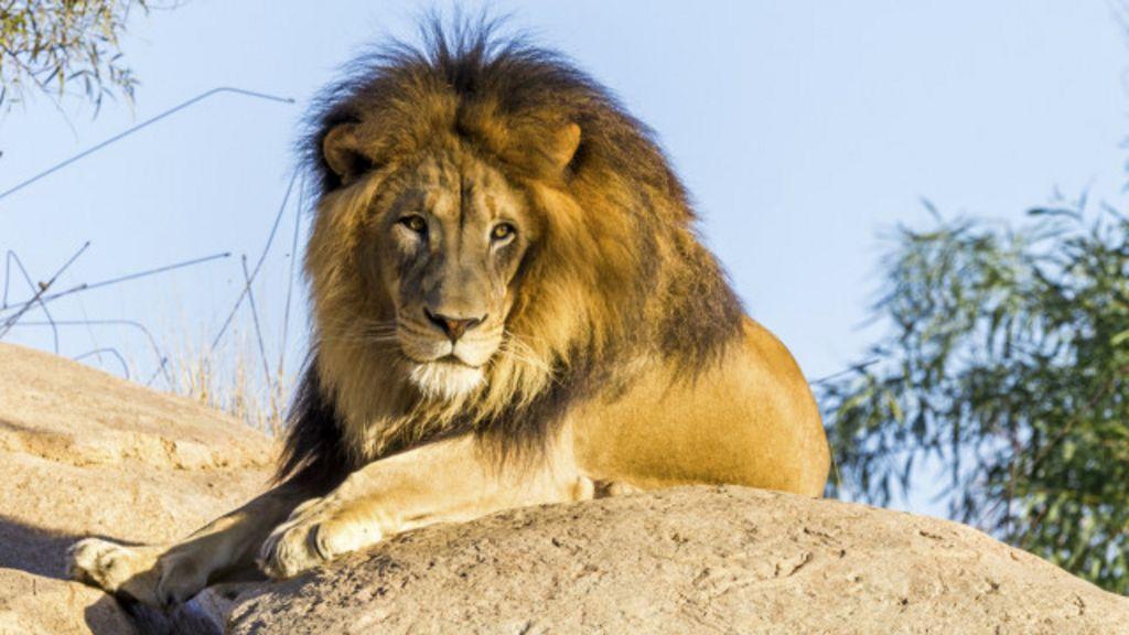 Sete motivos para adorarmos os leões - BBC Brasil