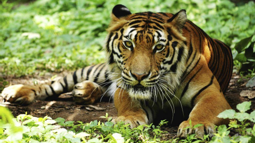 Polícia de Bangladesh mata seis suspeitos de caçar tigres BBC Brasil